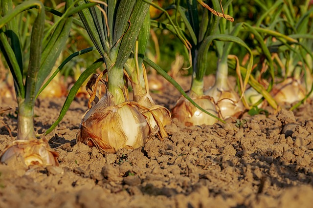 Comment obtenir des graines de poireaux germées ?